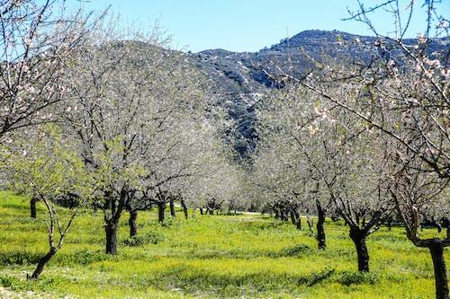 Foto stok gratis hijau, kebun, pegunungan, pohon