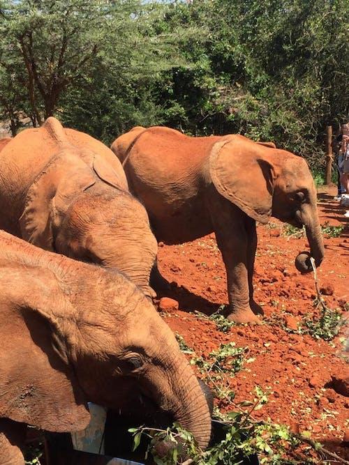 Free stock photo of african elephant, animal photography, david joseph simard, elephant