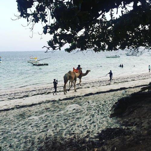 Free stock photo of beach, boats, camel, shore