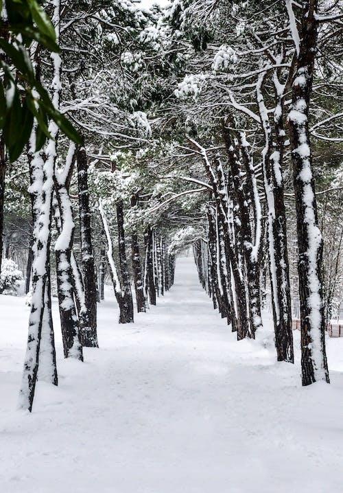 Free stock photo of # symmetry #snow #photo #nature #tree #white