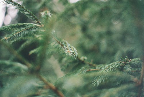 Free stock photo of 35mm, christmas tree, close up, forest