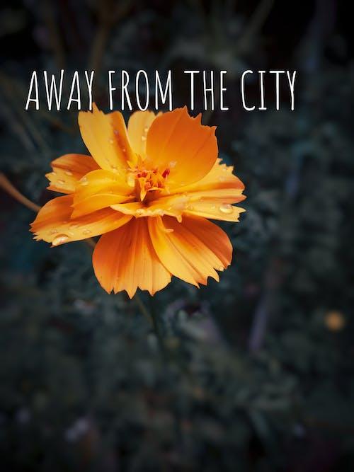 Foto d'estoc gratuïta de Adobe Photoshop, amant, color taronja, cosmos