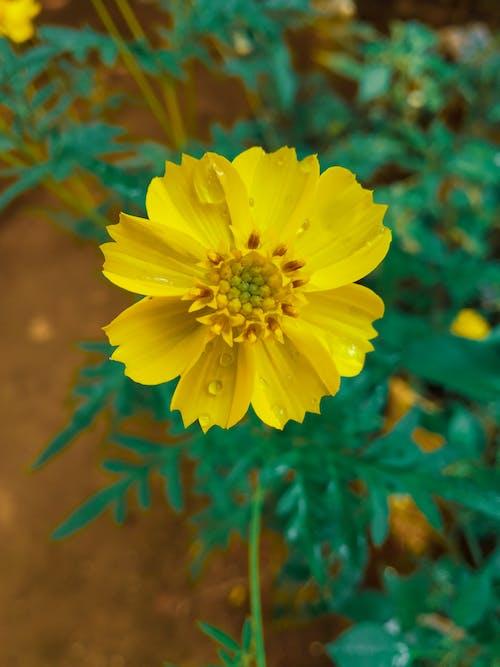 Foto d'estoc gratuïta de bellesa a la natura, cosmos, flors, foto
