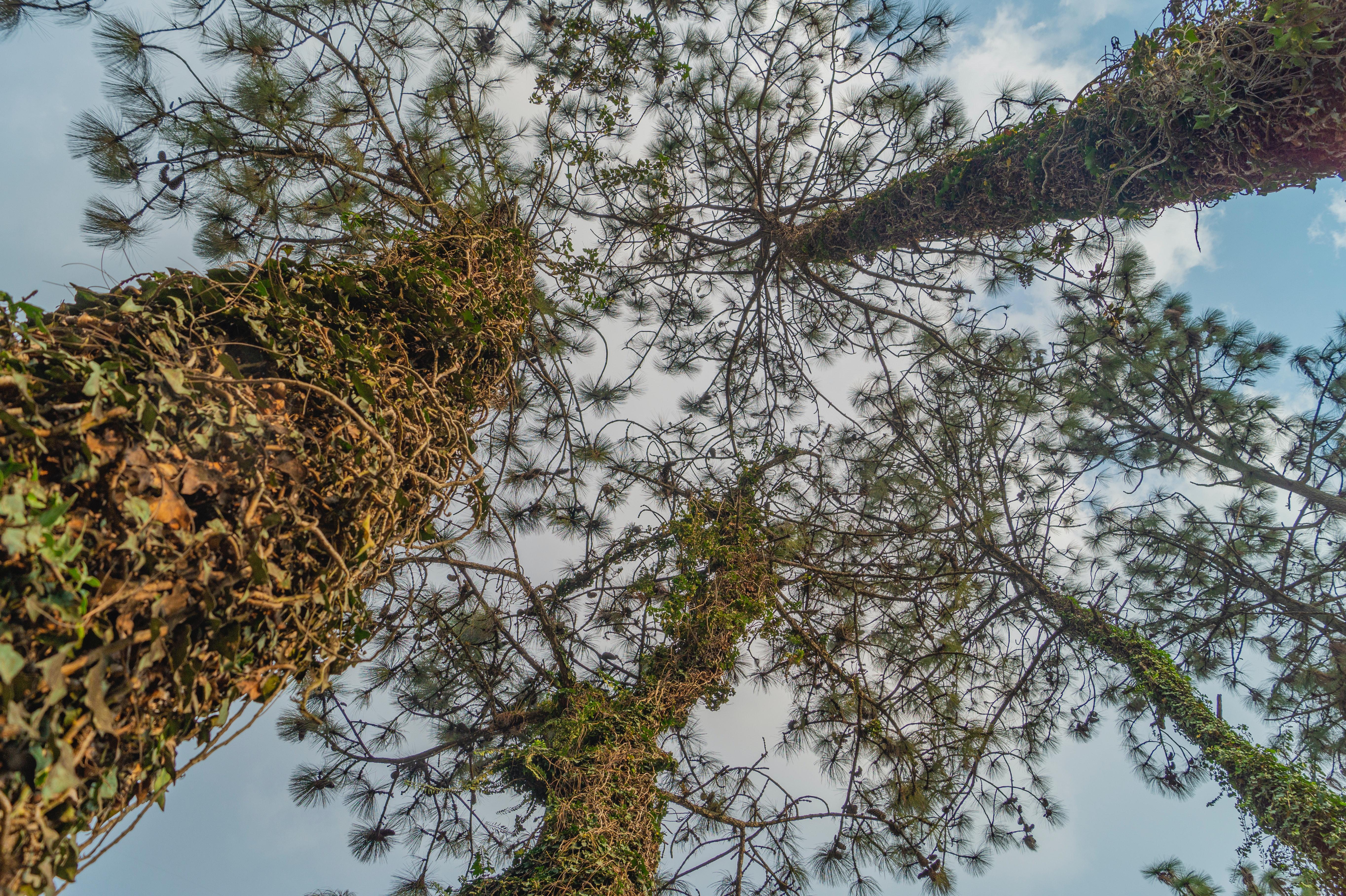 Free stock photo of tall trees, trees