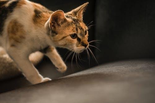 Δωρεάν στοκ φωτογραφιών με αιλουροειδές, Γάτα, γατάκι, πρόσωπο γάτας