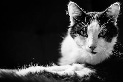 Δωρεάν στοκ φωτογραφιών με αιλουροειδές, Γάτα, γατάκι, μαύρο άσπρο