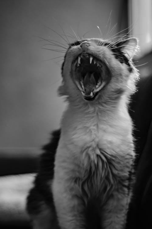Δωρεάν στοκ φωτογραφιών με αιλουροειδές, ασπρόμαυρο, Γάτα, γατάκι