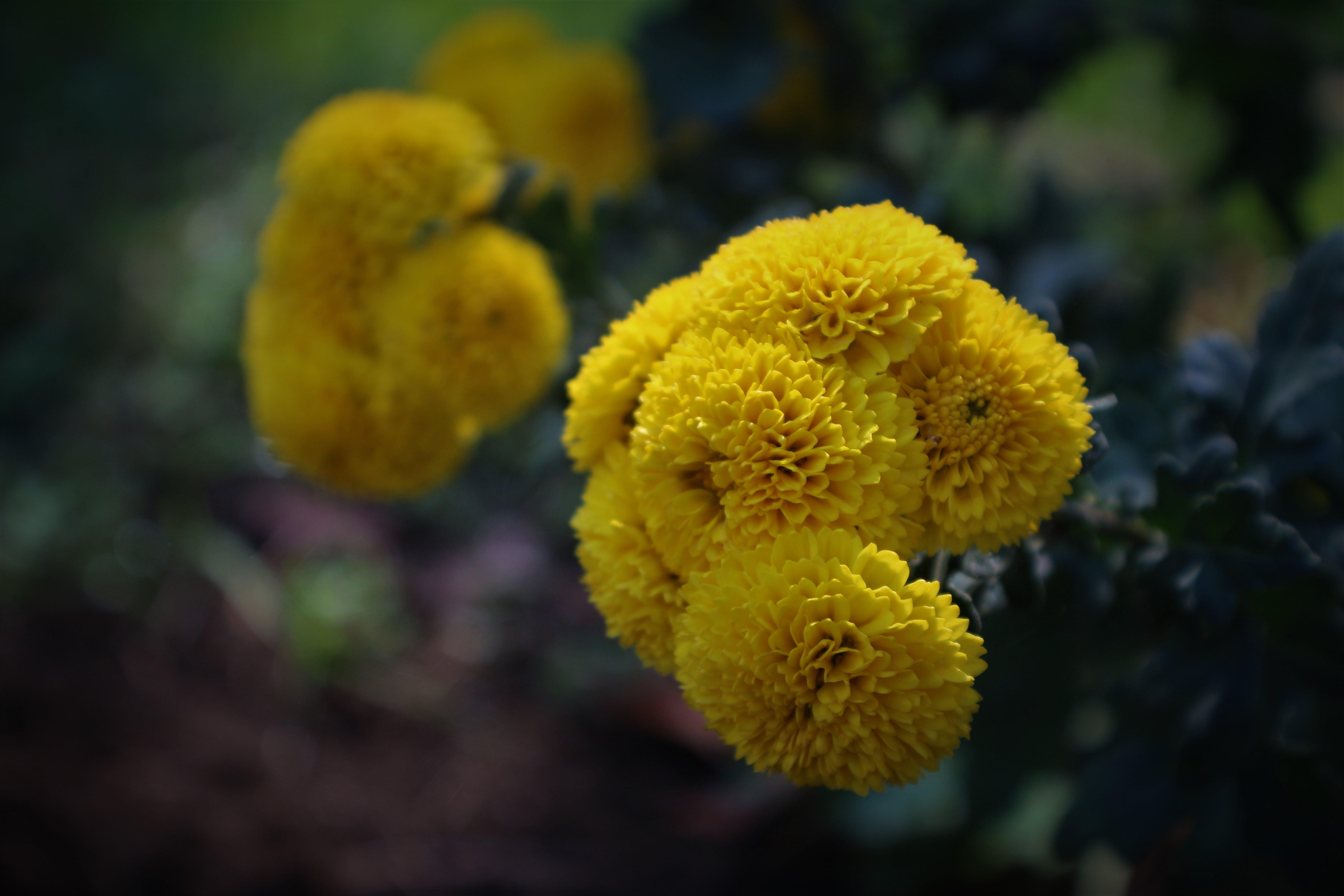 Free stock photo of beautiful flower, yellow flower