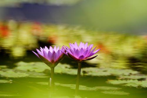 フローラル, 水, 池, 緑の無料の写真素材