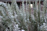 winter, frost, rosemary