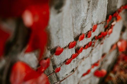 Kostenloses Stock Foto zu herzform, rote blätter