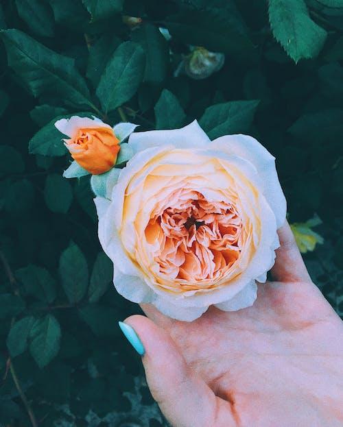 Foto profissional grátis de Cor-de-rosa, dourado rosé, rosa, rosa branca