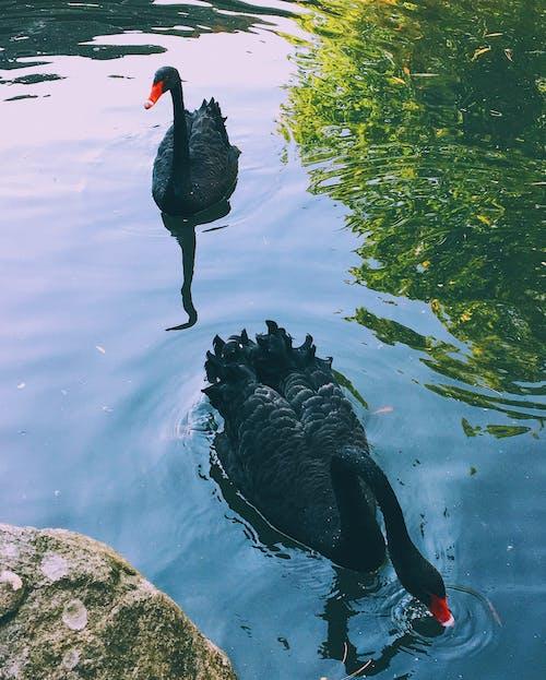 Foto profissional grátis de cisne, cisne negro, cisnes, cisnes negros