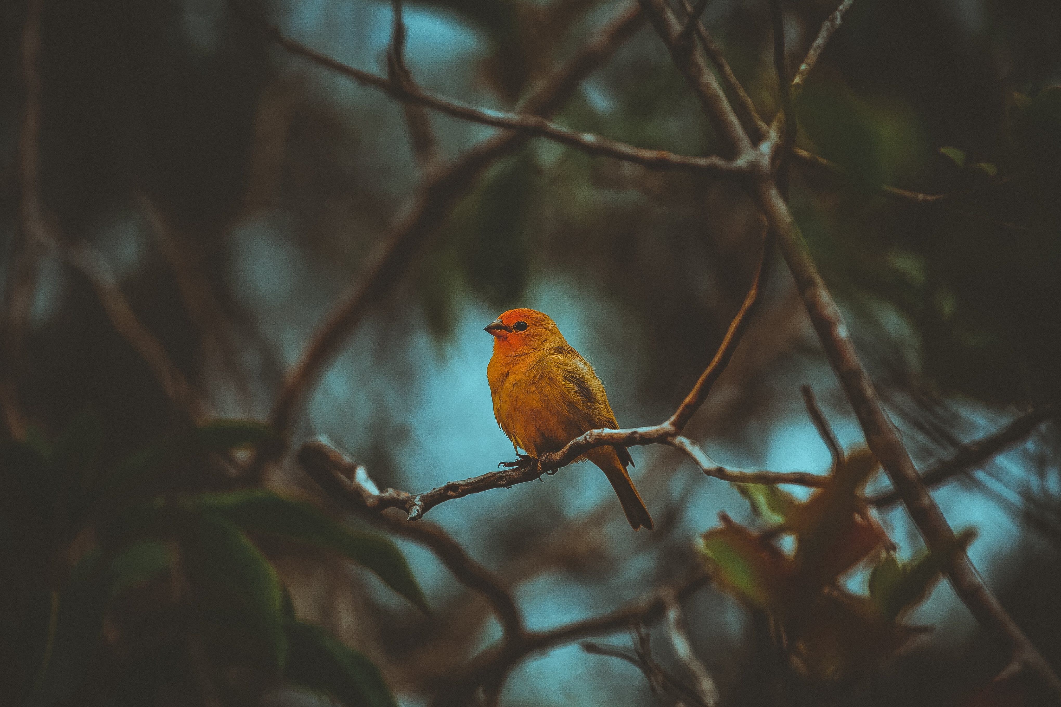 Red and Yellow Bird on Branches