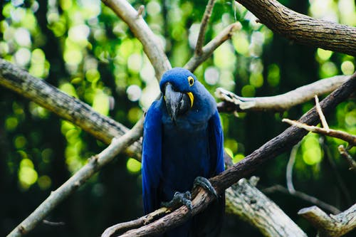 Cute curious Hyacinth Macaw parrot with dark blue feather sitting on twig in sunny summer forest
