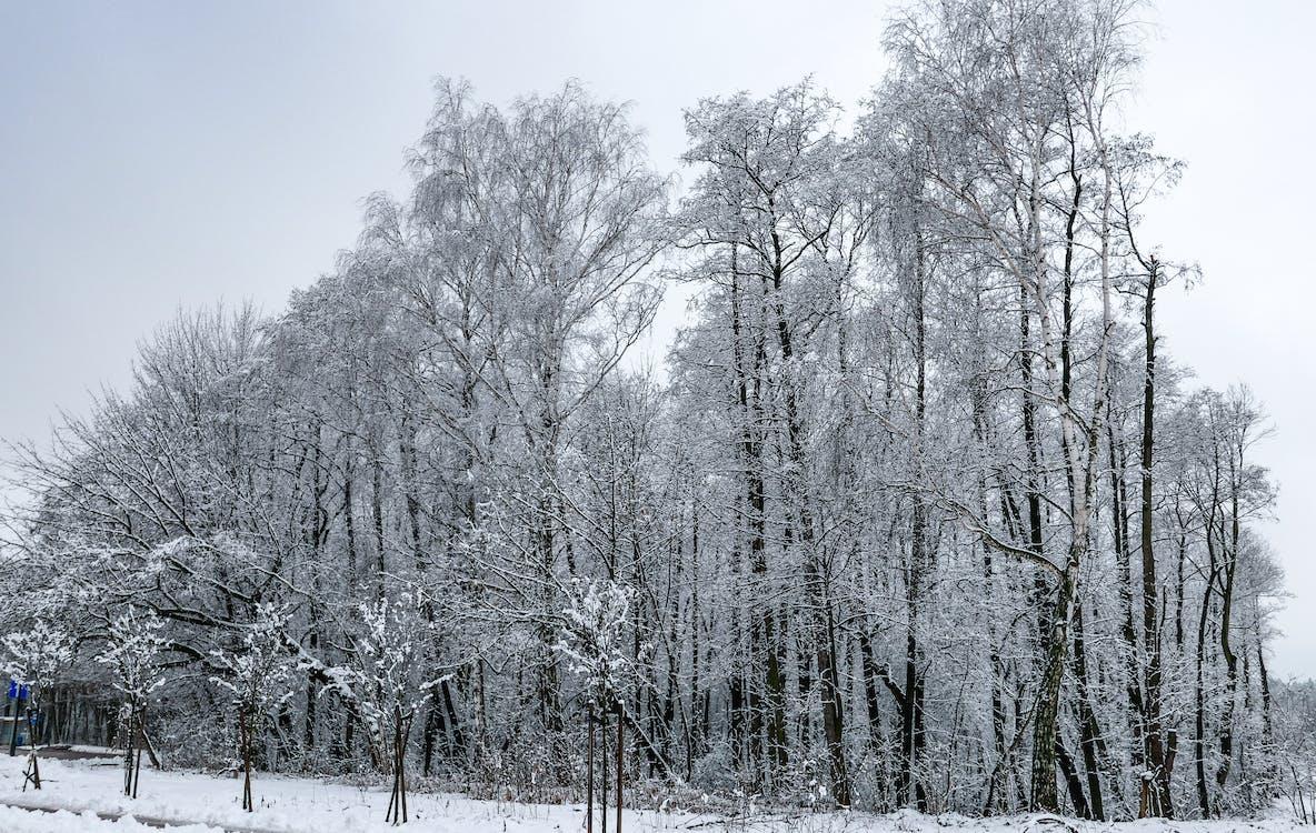 dingin, musim dingin, pohon yang tertutup salju