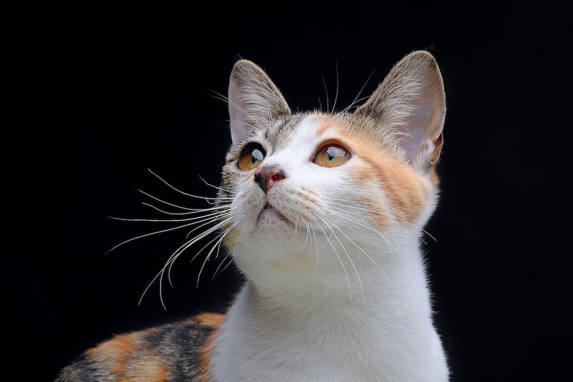 mâță, pisică