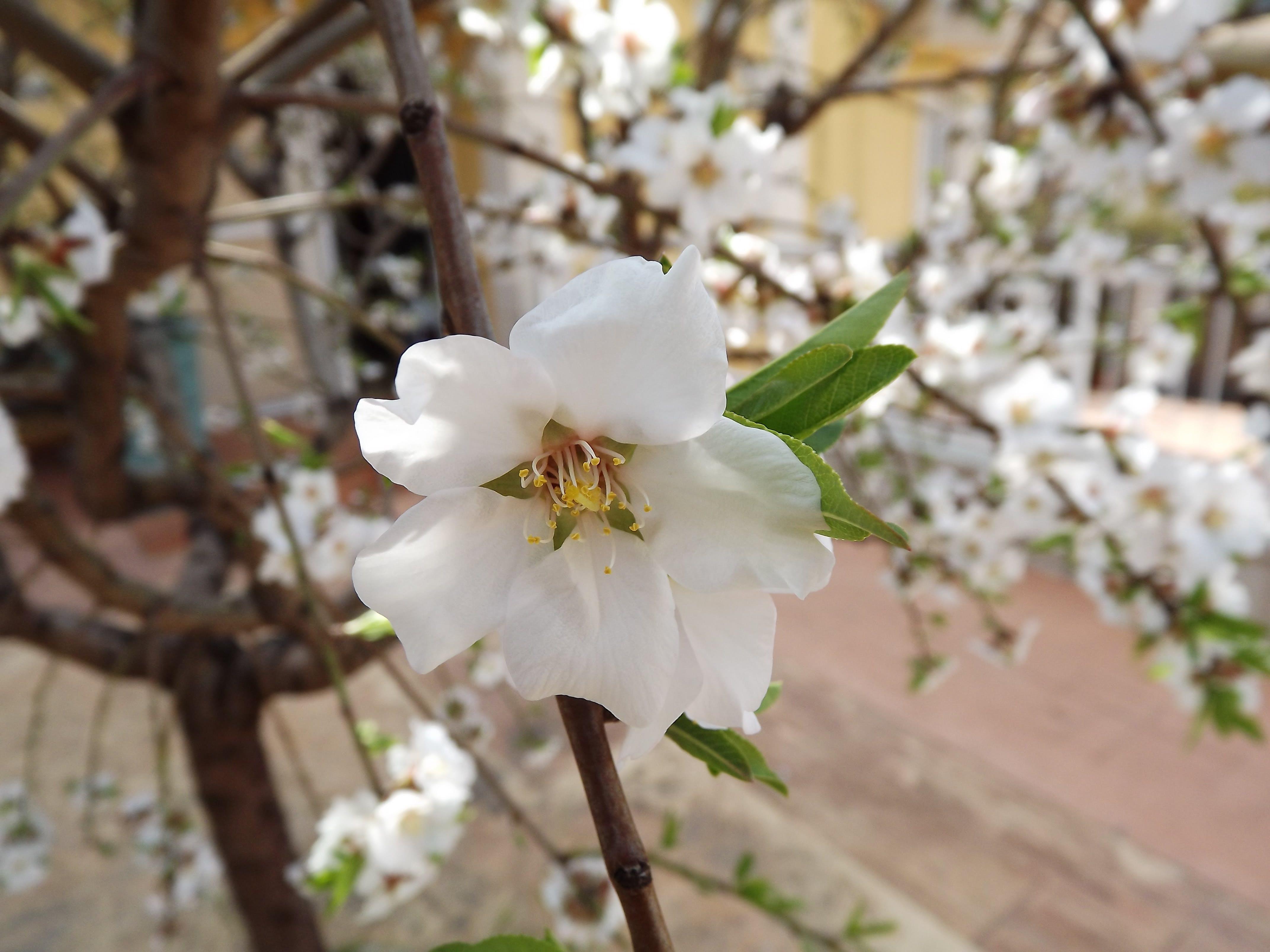 Free stock photo of almond, flower