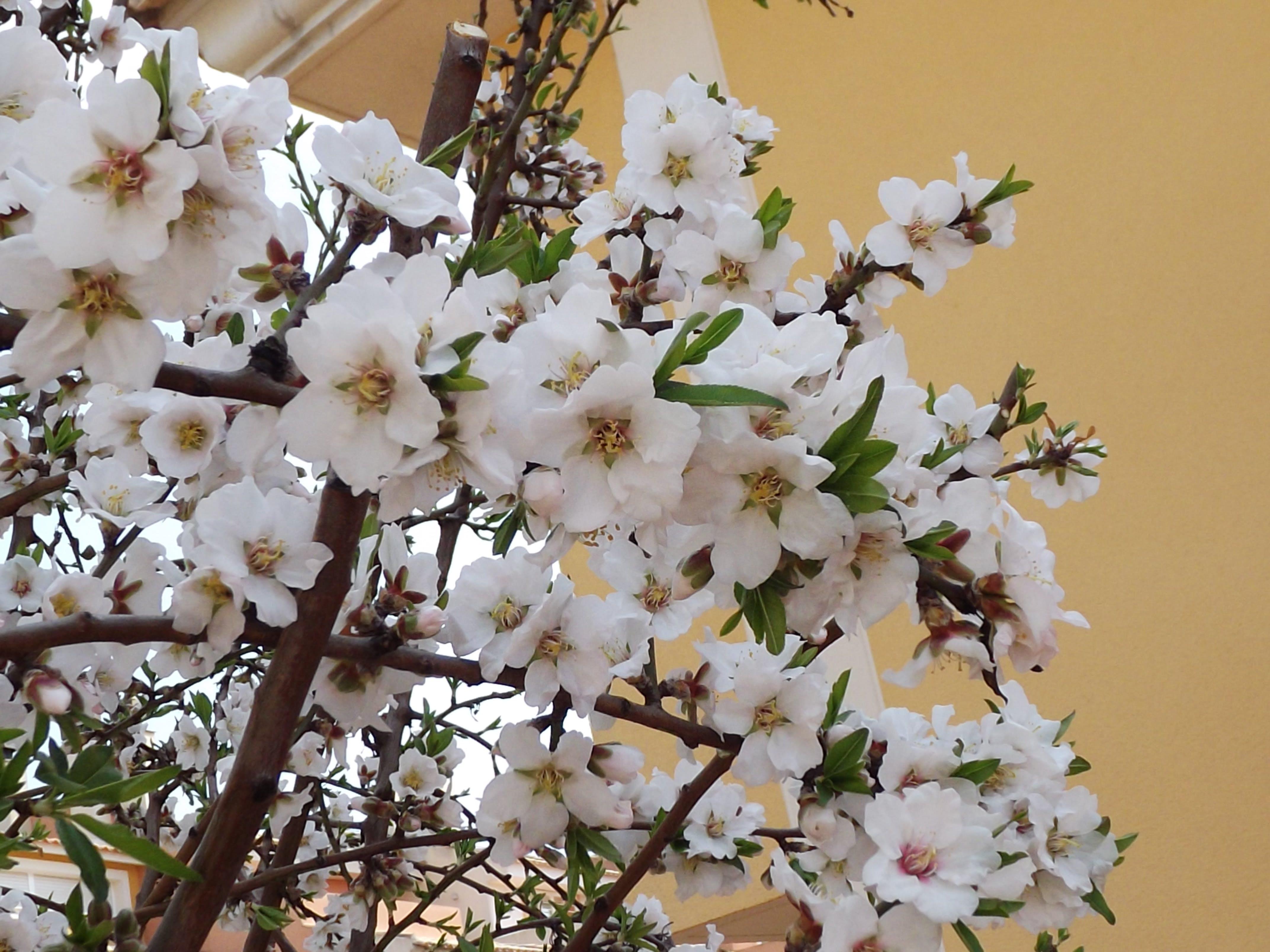 Free stock photo of almond, flora, flower, outcrop