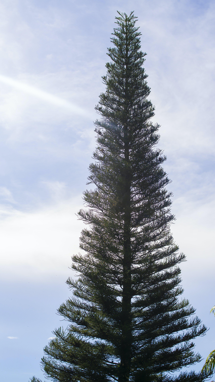 Free stock photo of coniferous trees, fir