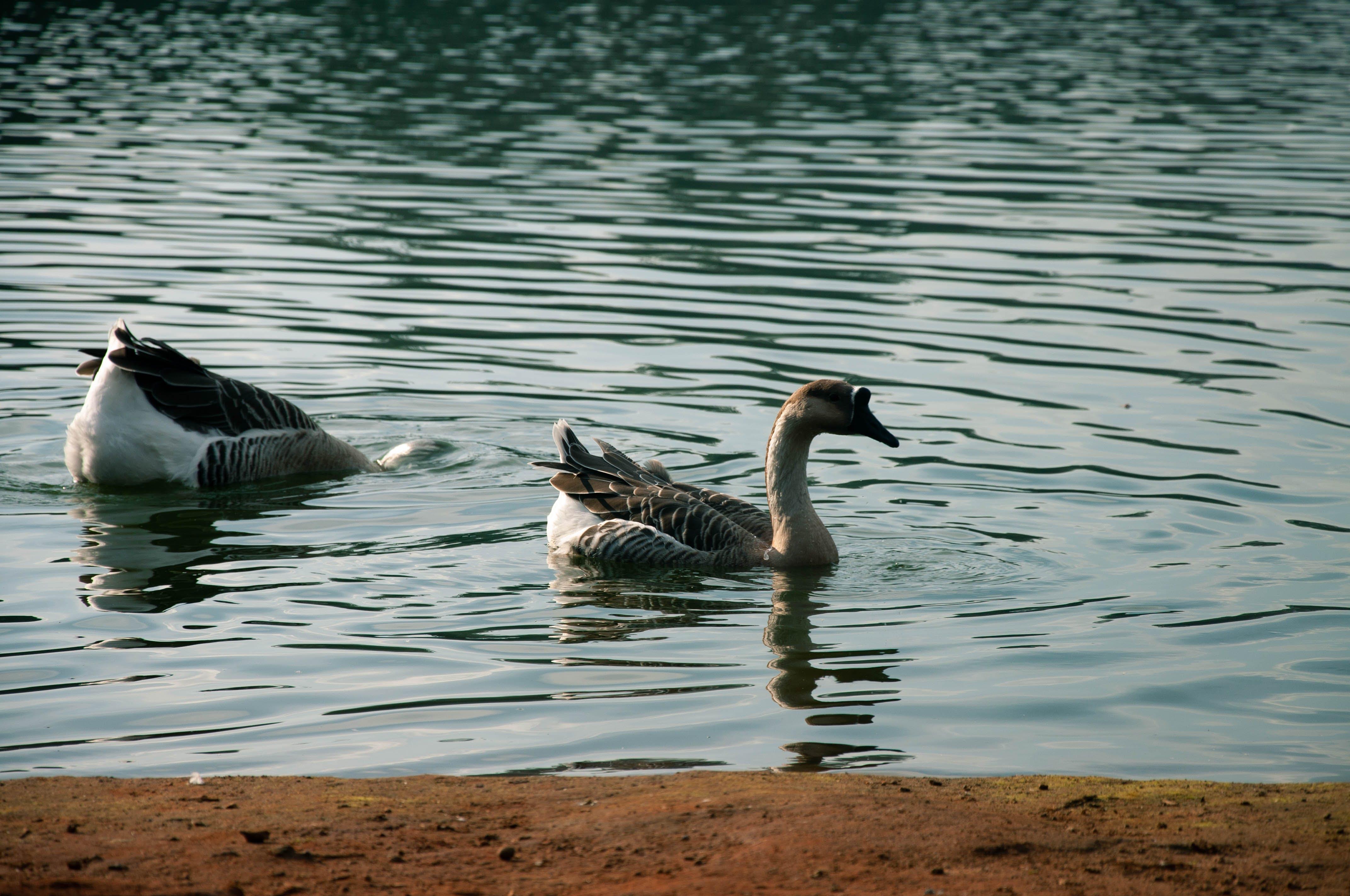 Безкоштовне стокове фото на тему «cisne, lago, natureza, Nikon»
