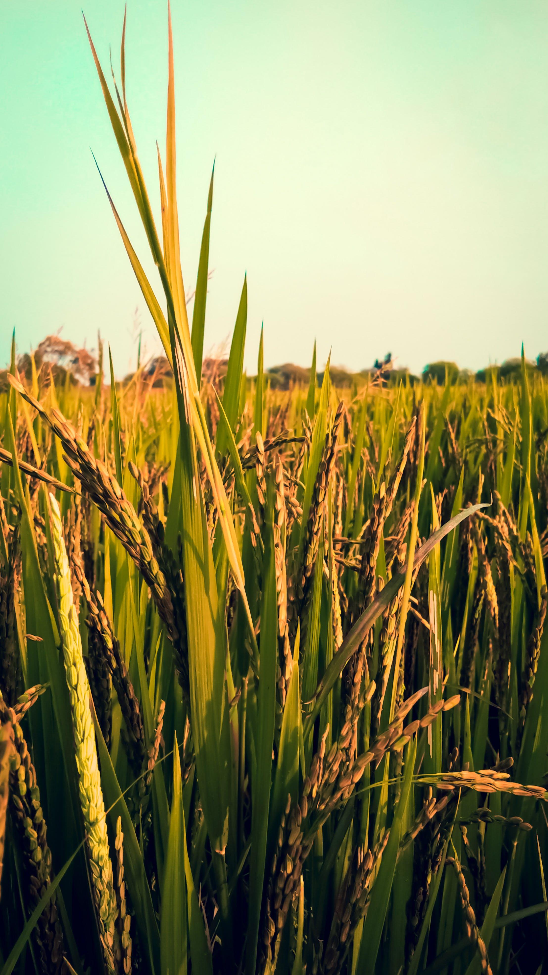 Δωρεάν στοκ φωτογραφιών με ριζοχώραφο, φύση, χωράφι ρυζιού