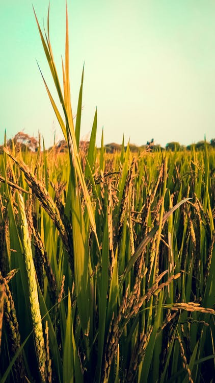 arrozal, natureza, obter vertical