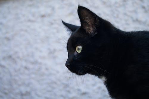 Imagine de stoc gratuită din alb, față de pisică, fotografie, fotografie de animale