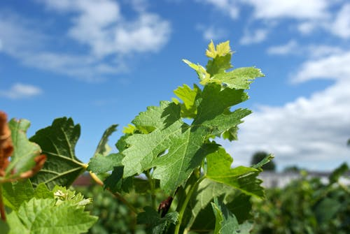 Free stock photo of feuille de vigne, vignoble