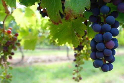 宏觀, 水果, 葡萄, 葡萄園 的 免费素材照片