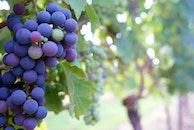 food, leaves, grapes