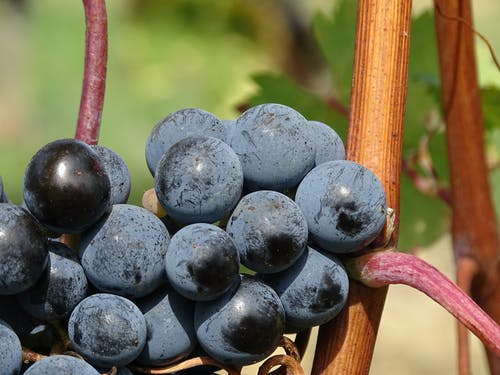 Ripe Grapes during Daytime