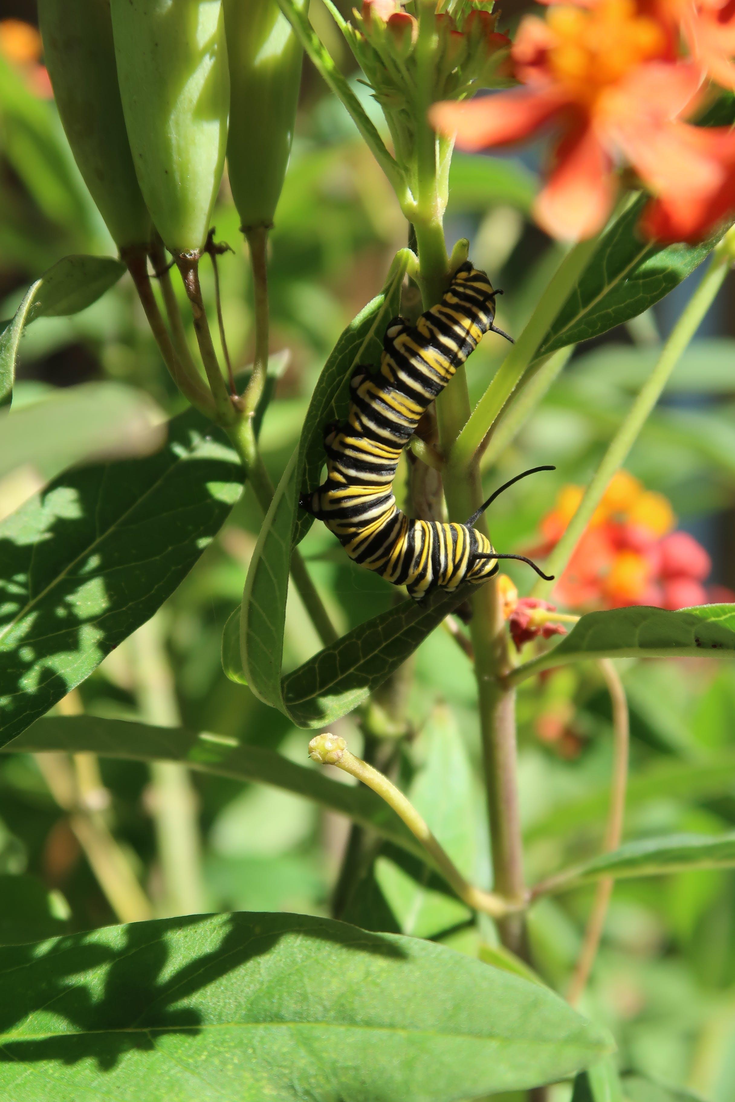Free stock photo of caterpillar, monarch, monarch caterpillar