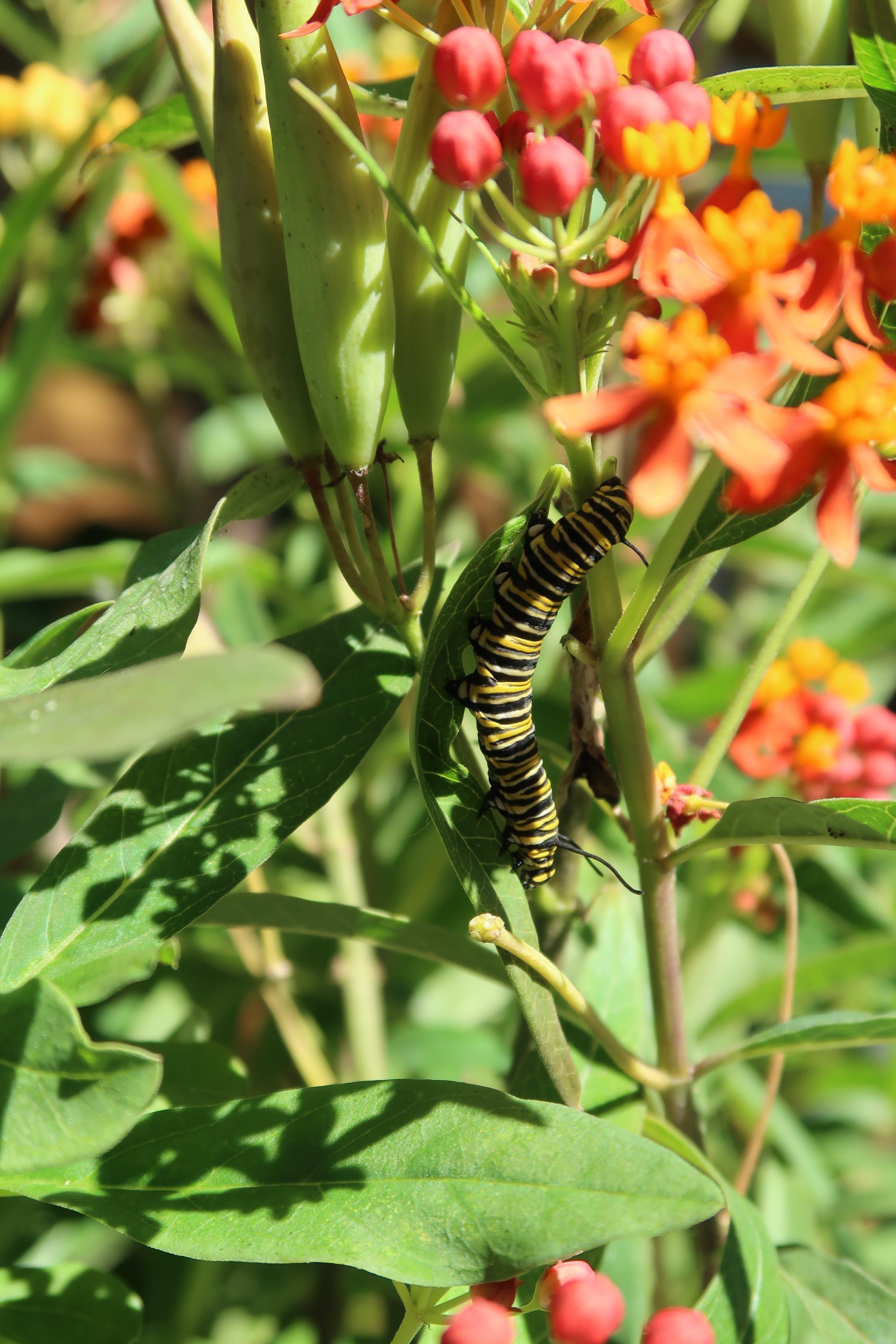 Free stock photo of caterpillar, monarch