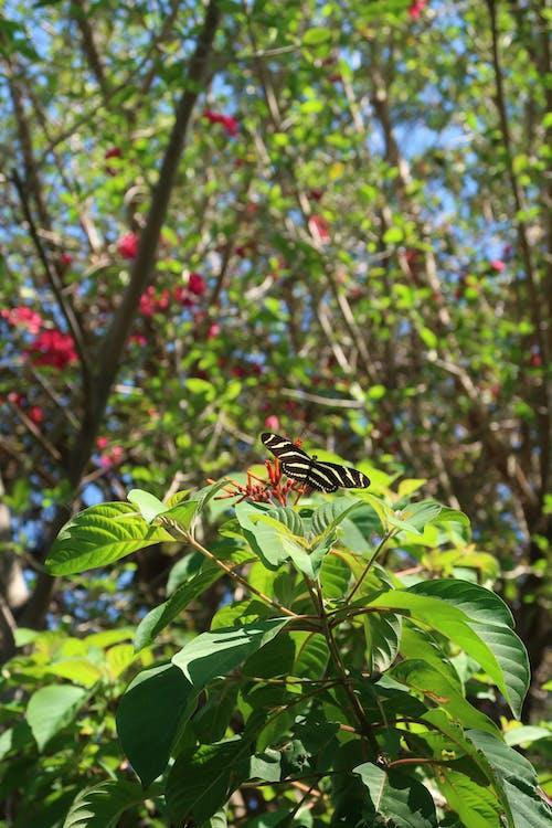 Gratis stockfoto met gestreepte longwing vlinder, vlinder, zebra