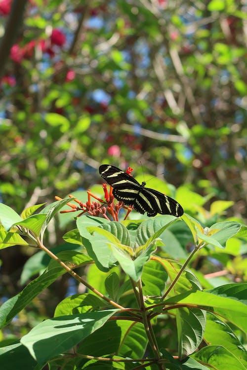 Ilmainen kuvapankkikuva tunnisteilla perhonen, seepra, seepra perhonen