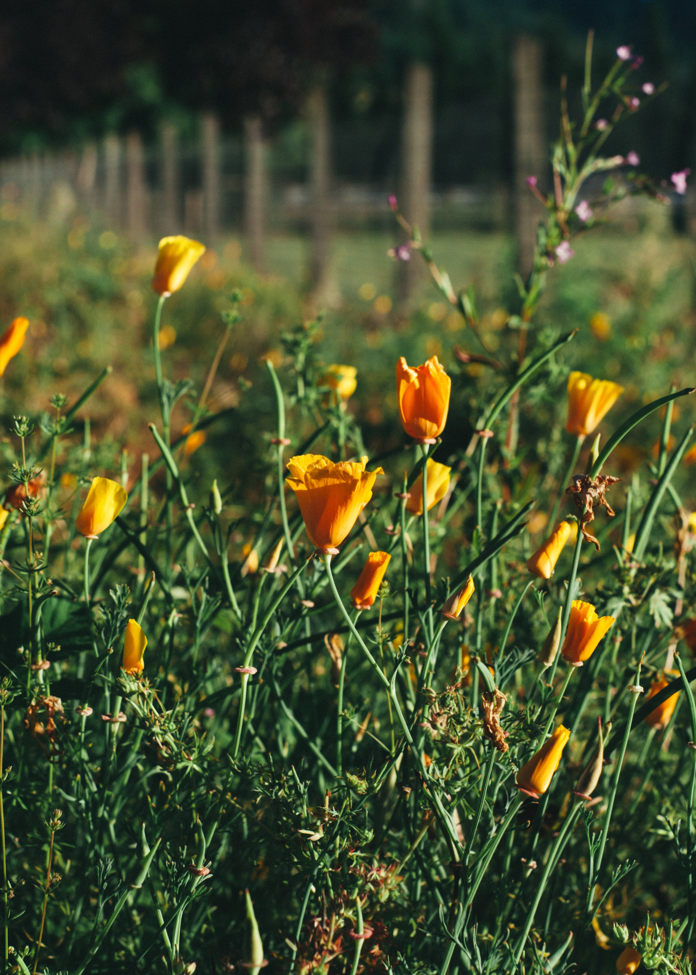 Free stock photo of California Poppy, fence, oreange, poppies