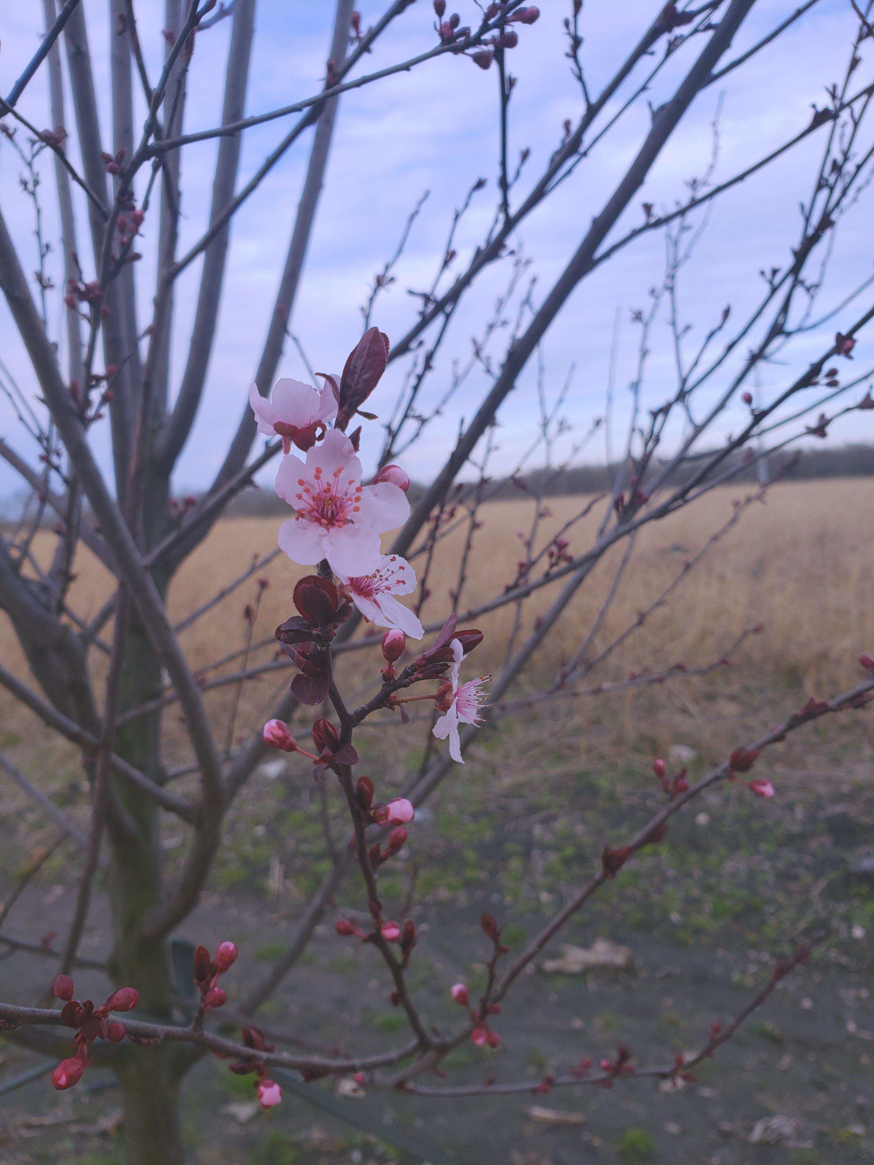 Kostenloses Stock Foto zu baum, blühen, blume, kirschblüte