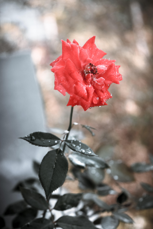 Gratis arkivbilde med blomst, makro, oransje farge, roser
