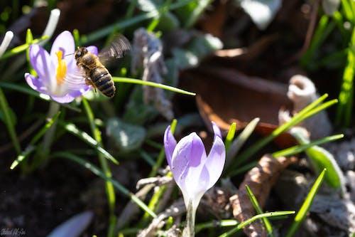 Gratis arkivbilde med bie, blomst, makro
