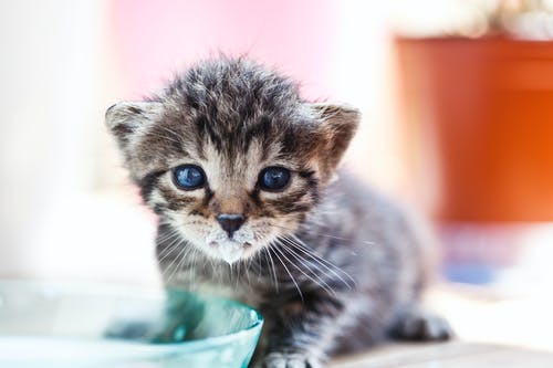 キティ, ネコ, ミルク, 乳白色の無料の写真素材