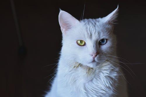 ひげ, ネコ, ネコ科, ヘテロクロミアの無料の写真素材