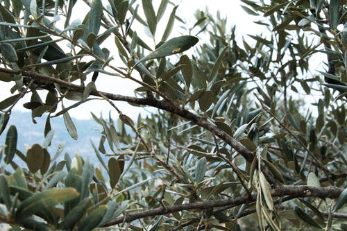 Free stock photo of green, olive, olive oil, olivetree