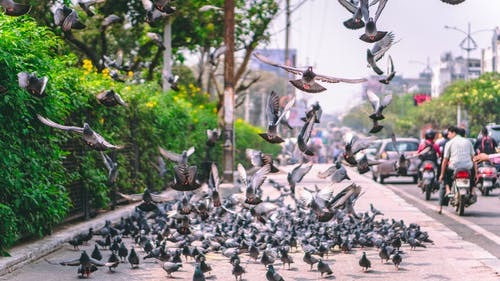 Flock of Pigeons Beside Roadway