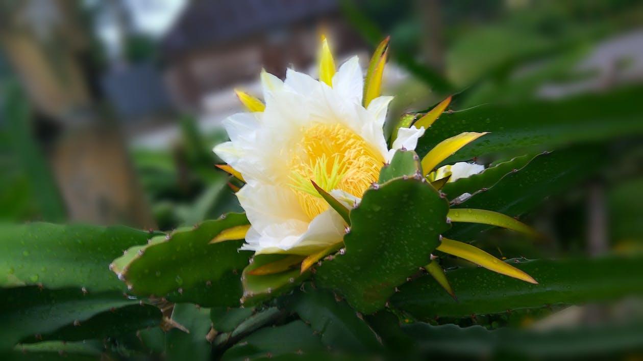 Free stock photo of artistic, beautiful flower, dragon fruit