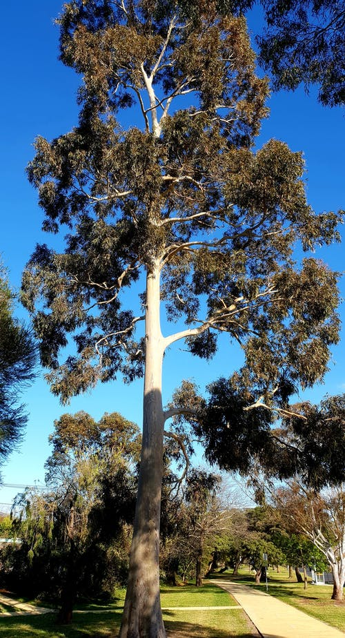 Free stock photo of blue sky background, ghost gum, Gum Tree, pathway