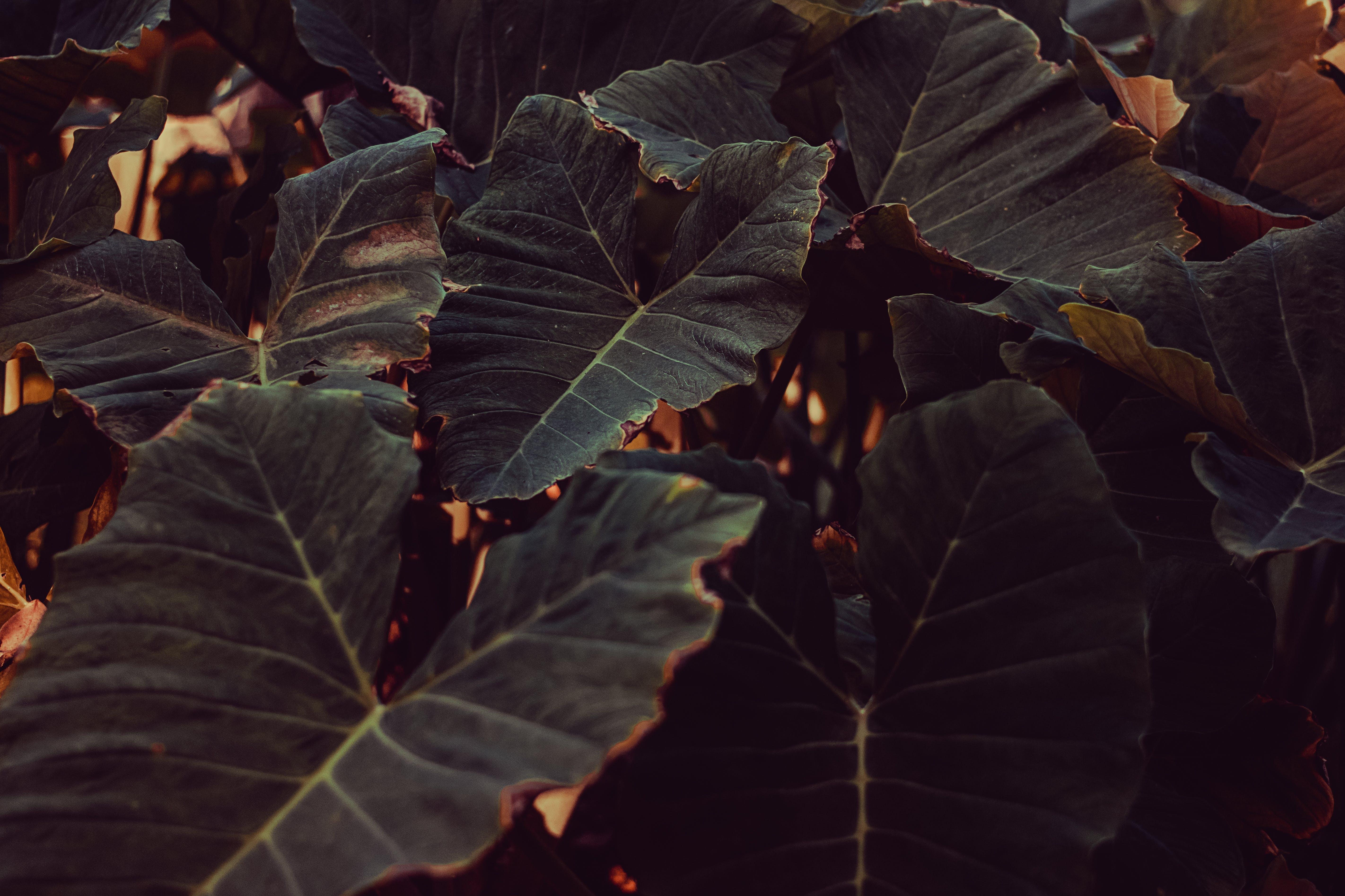 Darmowe zdjęcie z galerii z ciemnozielone rośliny, ciemnozielony, duży liść, fotografia przyrodnicza