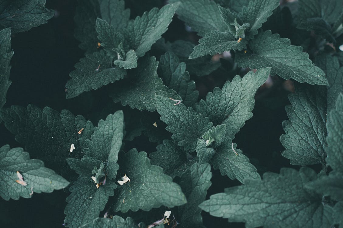 alami, daun mint, daun-daun hijau