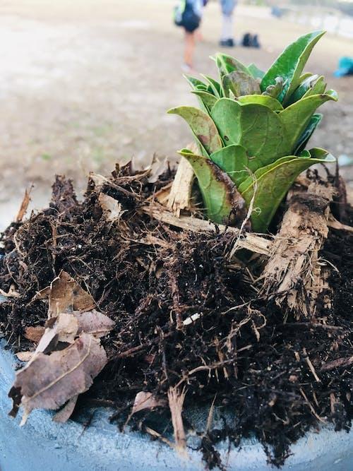 Free stock photo of cactus, cactus plant, garden