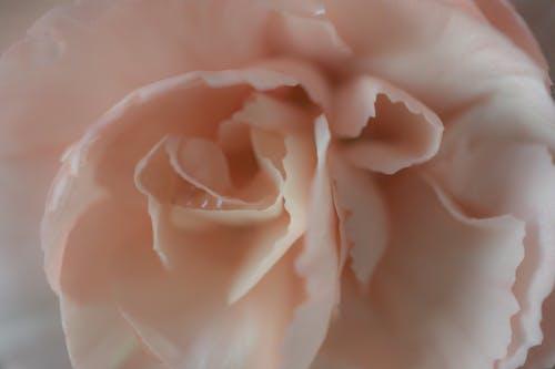 Darmowe zdjęcie z galerii z delikatny, goździk, kwiat, kwiat goździka